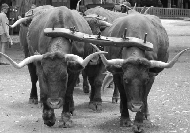 Bullock_yokes